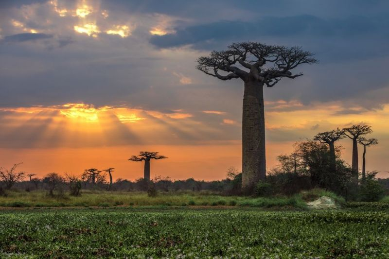 Scientists wanted to understand how baobab trees live for thousands of years. Then the ancient trees started dying.