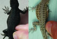 Adaptable lizards illustrate key biological process planned a century agone