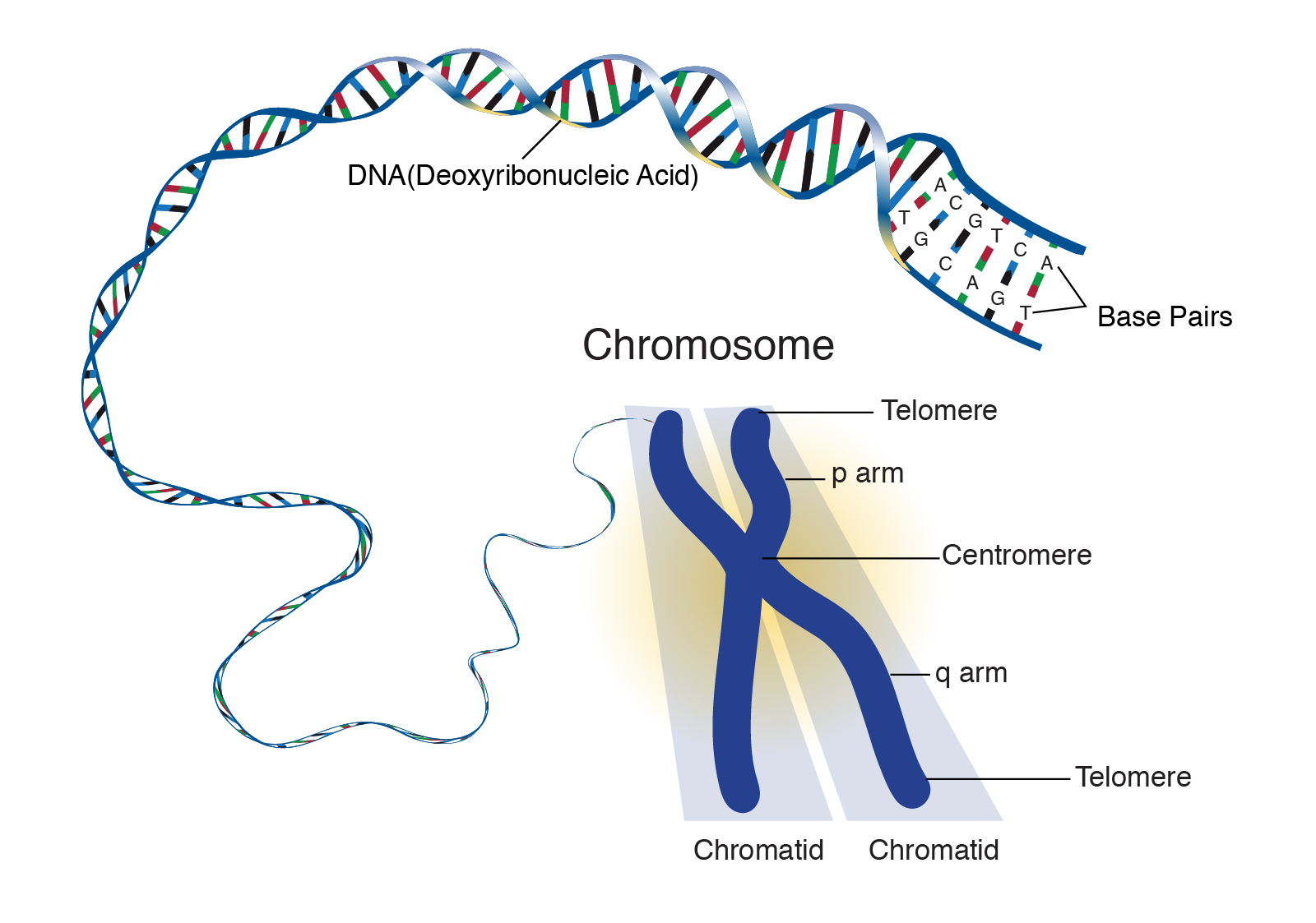 News Update on Chromosome Research: Aug – 2019