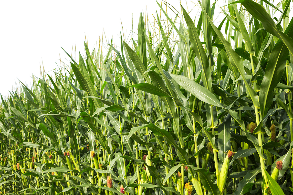News Update on Maize Genotypes Research: Aug – 2019