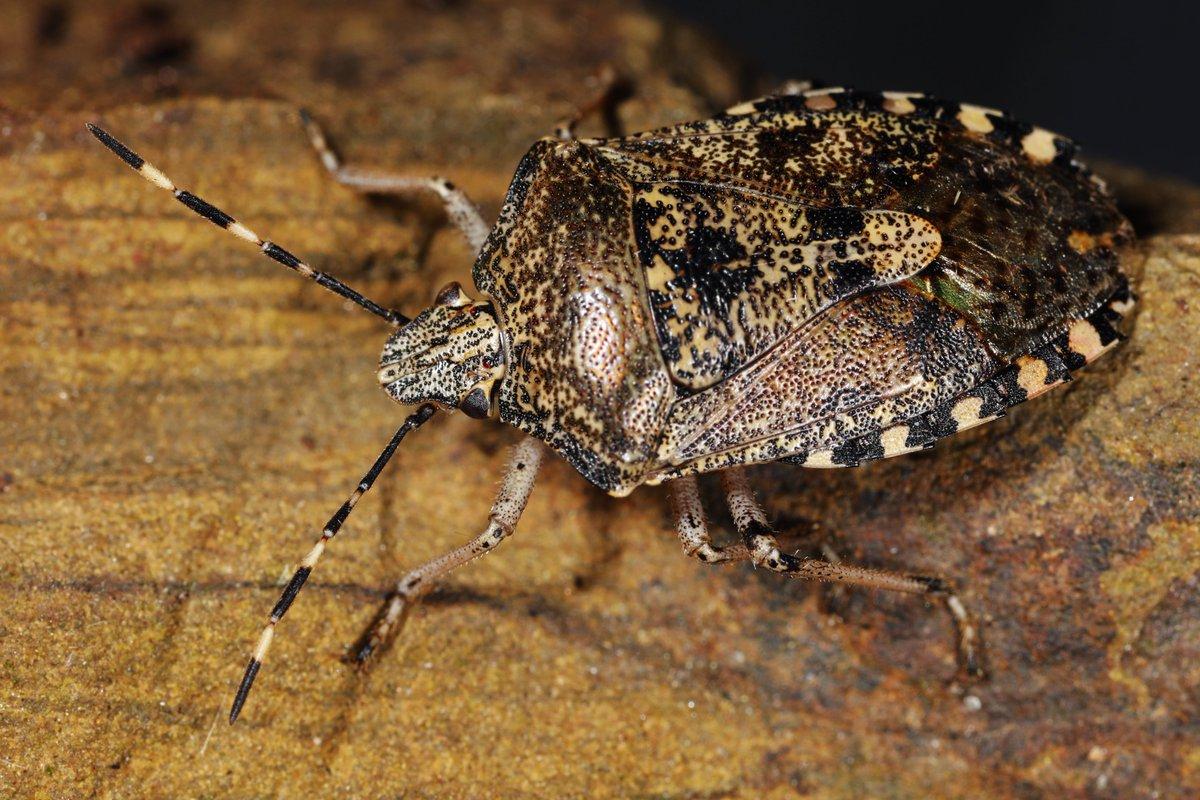 Latest News on Hemiptera Research: Dec – 2019